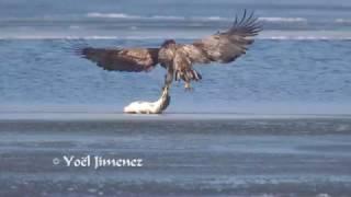 White-tailed Sea-eagle catching big carp/Zeearend vangt karper Oostvaardersplassen short version 4K
