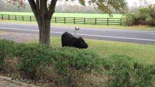 Chased by a Bull in my Front Yard