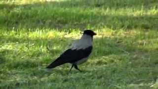 Lazy Angry Bird / Ворона птица гордая - пока не пнешь, не полетит, лентяйка