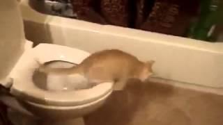 Смешное видео! Как приучить кошку к унитазу, лучшие приколы над животными