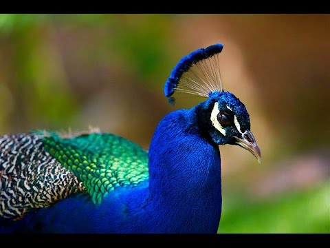 peacock information in english Peacock facts and information | 9 interesting facts about peacocks visit http://googl/z2wixn for more interesting facts on peacocks in this video we.
