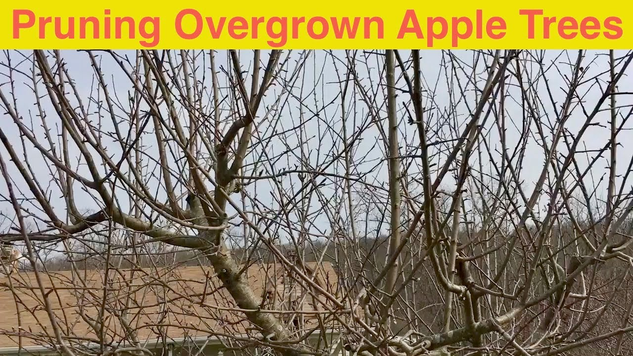 Pruning Overgrown Apple Trees Youtube