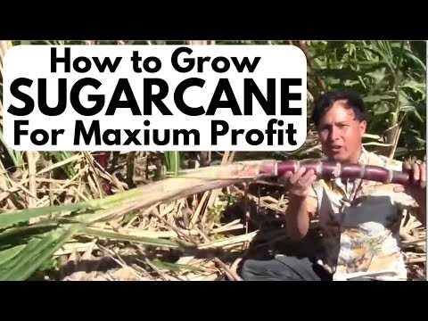 How to Grow and Juice Sugar Cane for Maximum Profit