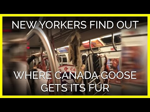 WATCH: New Yorkers Find Out Where Canada Goose Gets Its Fur Trim