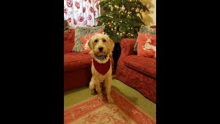 Woody - 7 Month Old Labradoodle - 2 Weeks Residential Dog Training