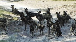 African Wild Dogs. Largest Pack Ever Recorded In National Park.
