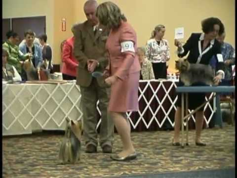 The 2011 Silky Terrier National Specialty