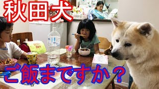 grandchild and ##Akita Inu #JAPANESEAKITA#秋田犬 秋田犬、惣右介君夜...
