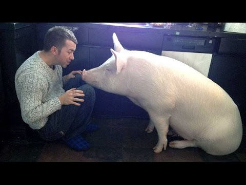 This Couple Thought They Adopted A Mini Pig But It Grew Up Into
