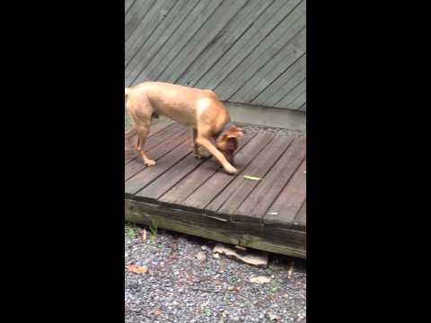 German Shepherd Pitbull mix territorial bark and protective instinct