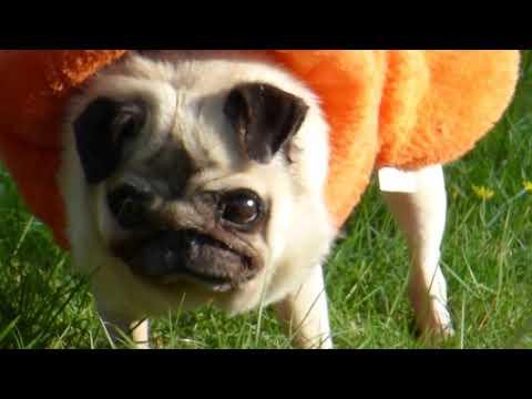 FUNNY PUG VIDEOS : PUMKIN CRYING