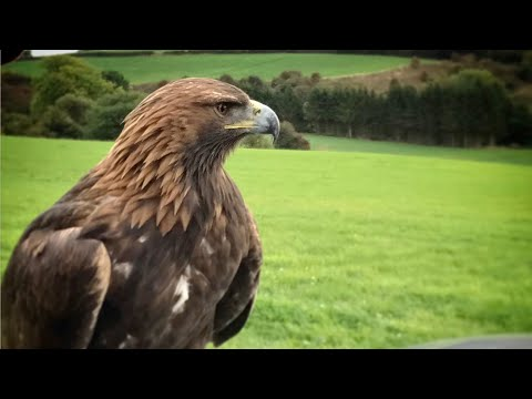 BullxProTraining Female Golden Eagle