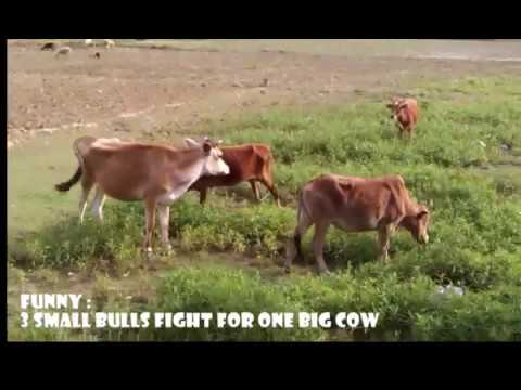 Funny!! bulls try to mate with a very big cow - YouTube