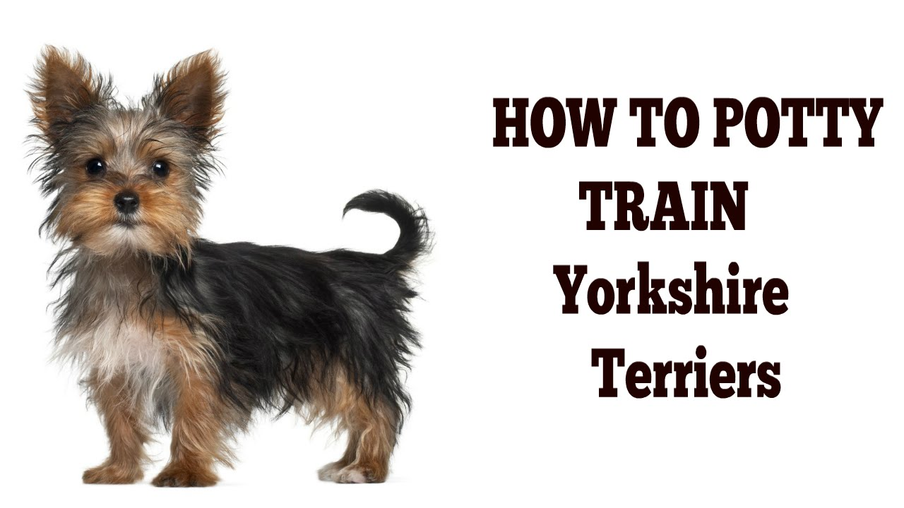 How to house train a puppy yorkshire terrier