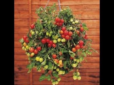 Комнатные томаты.Выращивание томатов зимой. Балконное чудо.