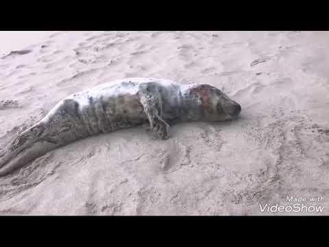 Aparece una foca herida en una playa de Barreiros
