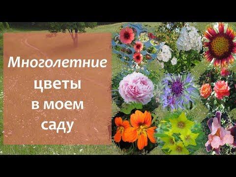 Многолетние цветы  на моих сотках