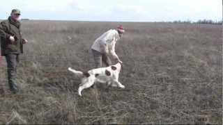 370. (25) Ирландский красно белый сеттер Хистори Бой