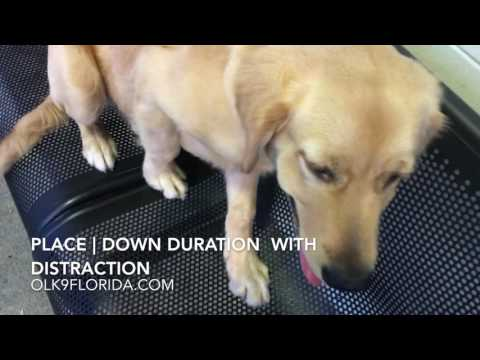 "5 Month Golden Retriever ""Samurai"" 