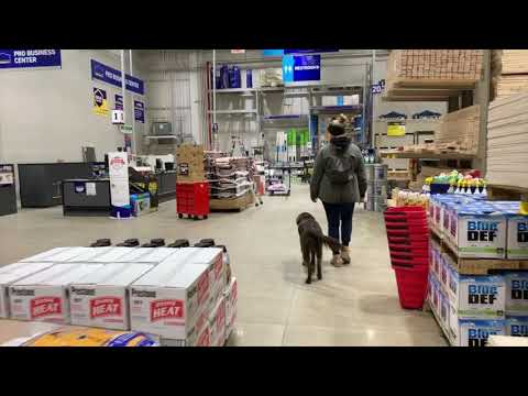 Best Dog Training Toledo, Ohio! 9 Month Old Flat Coated Retreiver, Nutmeg!