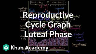 Reproductive cycle graph - luteal phase