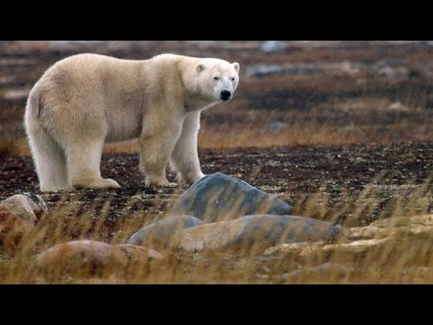 Two Polar Bears Battle for the Best Turf