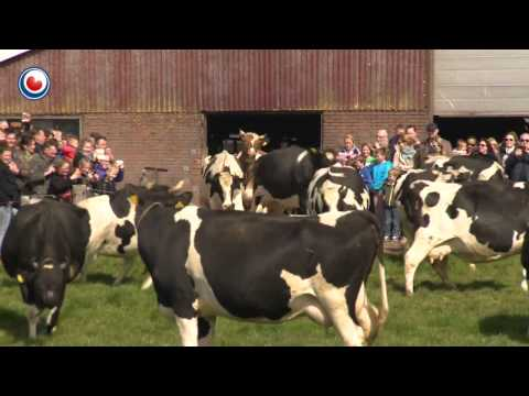 Cows coming out in the summer. Happy cows!