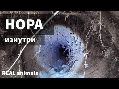 Нора изнутри: ондатра и тайная жизнь животных за 5 минут до попадания в пасть хищника / Real Animals