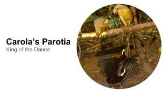 Carola's Parotia: King of the Dance
