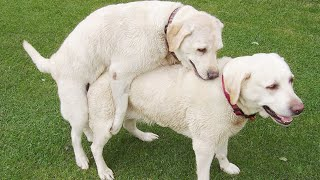 Dogs are fighting each auther for sex. Dog vs dog. Copyright free video.