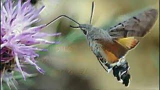 Бабочка колибри