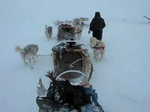 Extreme Alaskan malamutes at work in the Arctic