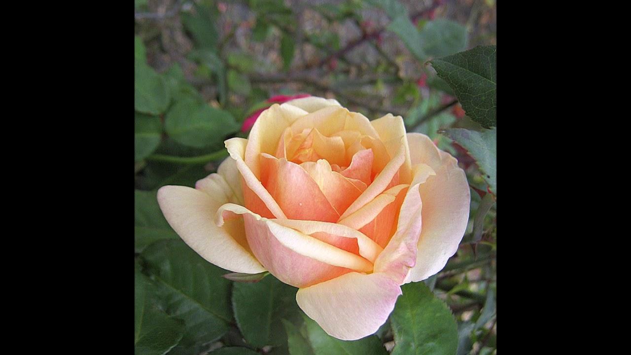 · Es ist ein Ros entsprungen · Una rosa ha brotado ·  Michael Praetorius ·