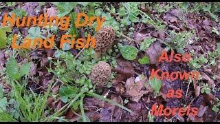 Hunting Dry Land Fish  (Morels)