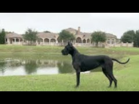 Beautiful Playful Adopted Black Great Dane Was Too Short To Be A Show Dog