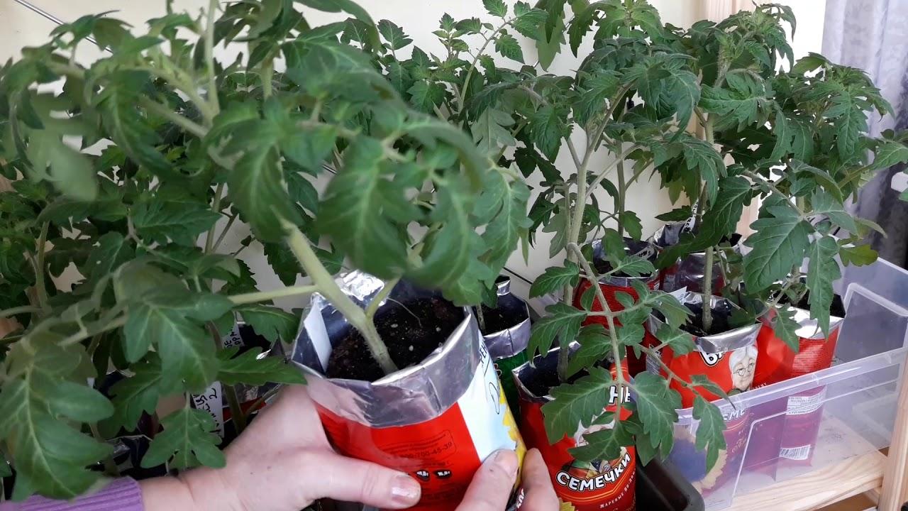 Рассада томатов,не допускаем вытягивания 6 апреля/ Странная рассада некоторых сортов
