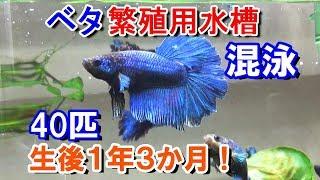 ベタ 生後1年3か月 混泳と、ちびベタ大きさ比較!【bettafish breeding】