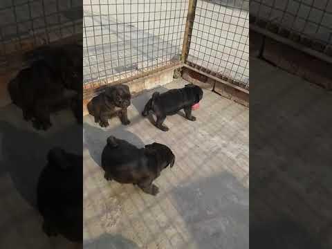 Black Pug Puppies price in Delhi NCR