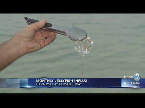Jellyfish Influx Closes Hanauma Bay