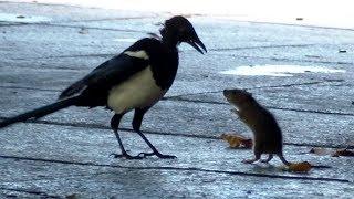 Mouse (Rat) VS Bird Fight Footage