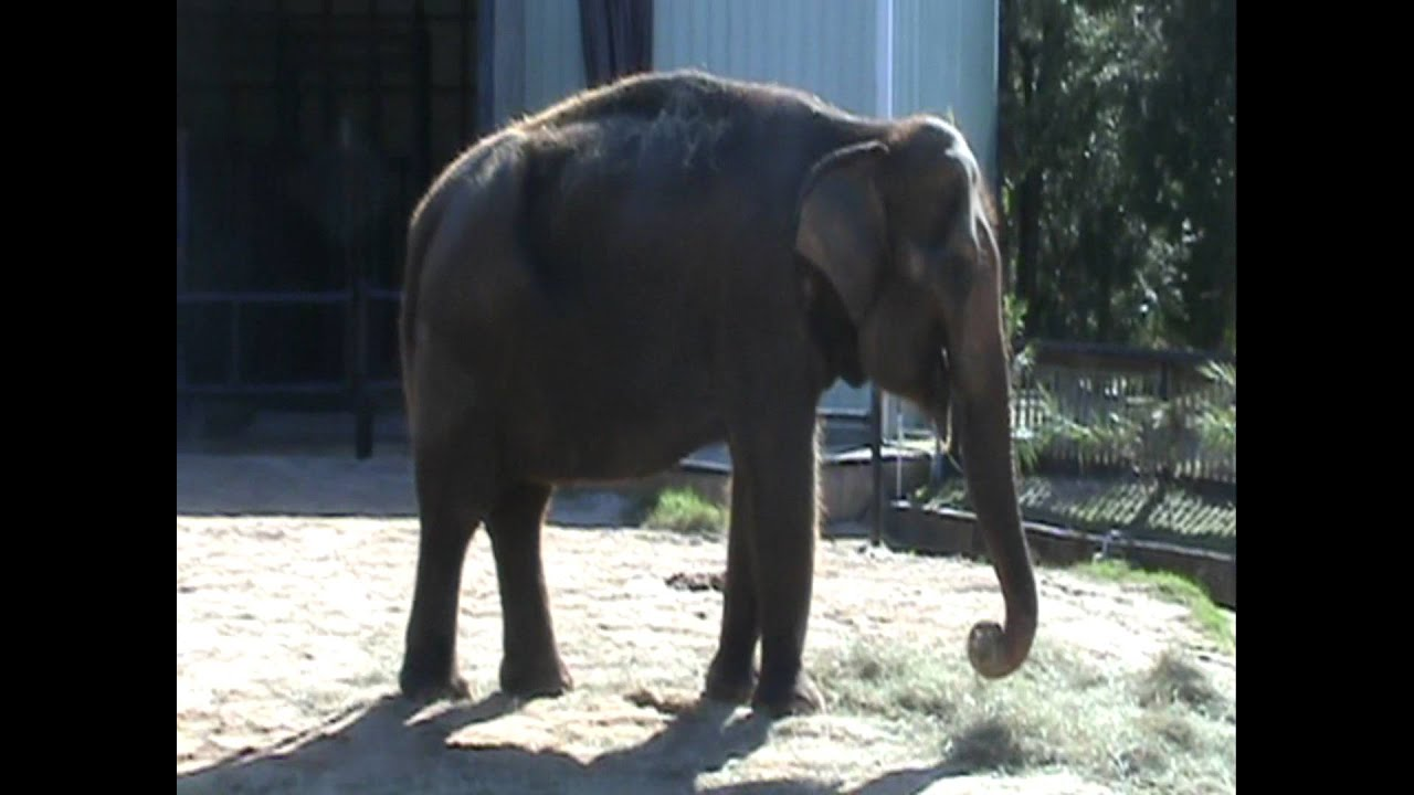 Are Elephants Mammals >> Mammals Of The World Asian Elephant Youtube
