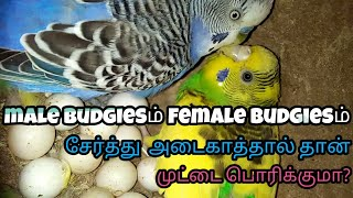 If male budgies also brooding the egg then only hatch the chick? தமிழ்