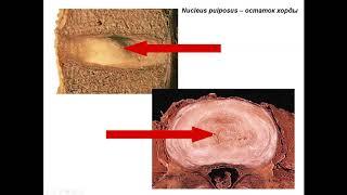 Строение и развитие осевого скелета