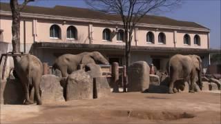 安佐動物公園のゾウたち、サバンナゾウのタカ(オス)とアイ(メス)、...