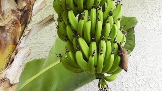 Grow & Harvest Bananas - flowers, fruits & stems of the banana plant