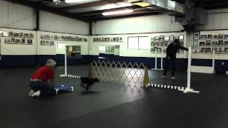 Nathan Practices Directed Jumping & Broad Jump - Competitive Dog Obedience Training