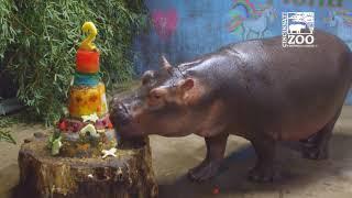 Baby Hippo Fiona Celebrates Her 2nd Birthday - Cincinnati Zoo