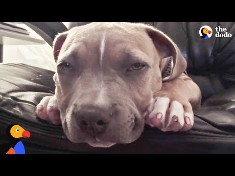 Pit Bull Puppy Falls Asleep To Dad's Voice | The Dodo