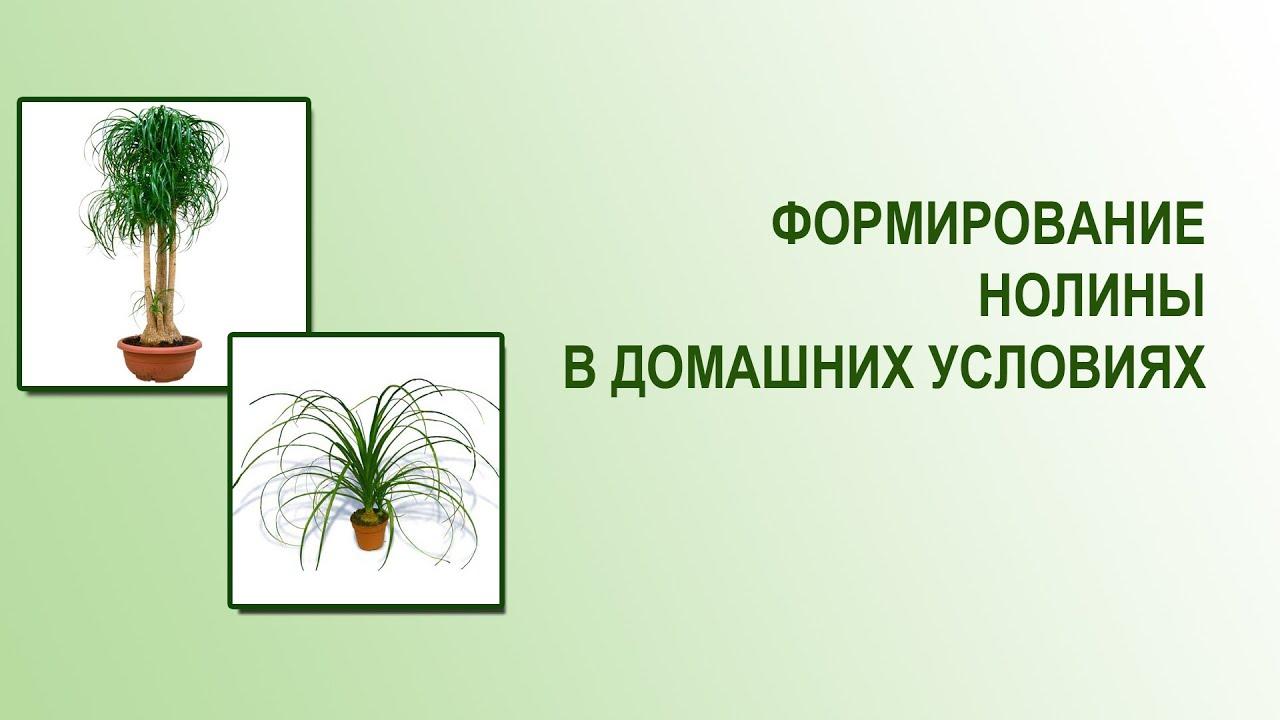 Бокарнея или нолина  floretsru