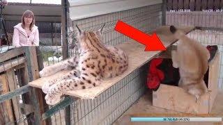 Падение рыси Умки / Big Cat Epic FAIL